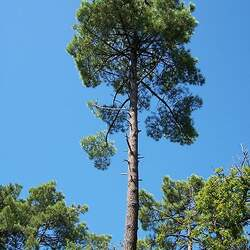 Pinus pinaster Cluster Pine, Maritime Pine seed for sale