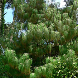 Pinus pseudostrobus Smooth-bark Mexican Pine seed for sale