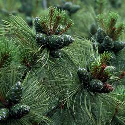 Pinus pumila Dwarf Siberian Pine, Japanese Stone Pine seed for sale