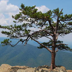 Pinus pungens Table Mountain Pine, Prickly Pine, Mountain Pine, Hickory Pine seed for sale