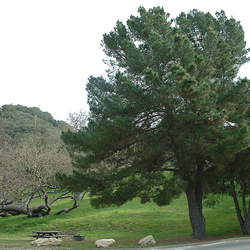 Pinus radiata    New Zealand Monterey Pine, Insignis Pine, Radiata Pine seed for sale