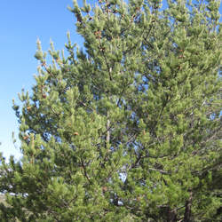 Pinus radiata  binata Guadalupe Island Pine seed for sale