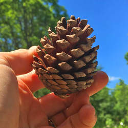 Pinus rigida     Cones Pitch Pine Cones seed for sale