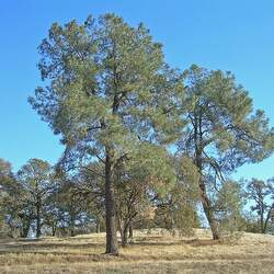 Pinus sabiniana Digger Pine, California Foothill Pine, Gray Pine, Foothills Pine, Sabine Pine, Bull Pine, Grayleaf Pine seed for sale