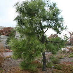 Pinus serotina Pond Pine, Marsh Pine, Pocosin Pine seed for sale