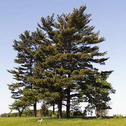 Pinus strobus    New York Eastern White Pine, White Pine, Weymouth Pine, Northern White Pine, Soft Pine seed for sale
