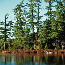 Pinus strobus    Wisconsin Eastern White Pine, White Pine, Weymouth Pine, Northern White Pine, Soft Pine seed for sale