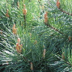 Pinus sylvestris    Belgium, Campine Scotch Pine, Scots Pine seed for sale