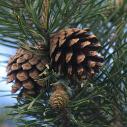 Pinus sylvestris    Spain, Gredos Scotch Pine, Scots Pine seed for sale