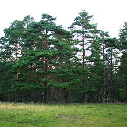 Pinus sylvestris    Scotland, Darnaway Scots Pine, Scotch Pine seed for sale