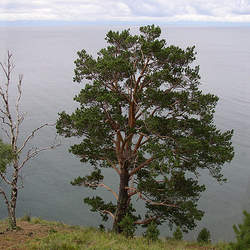 Pinus sylvestris    Latvia, Riga Scots Pine, Scotch Pine seed for sale