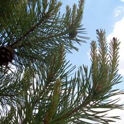 Pinus sylvestris    France, Casadeen Scotch Pine, Scots Pine seed for sale