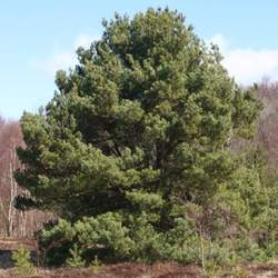 Pinus sylvestris    France, Auvergne Scotch Pine, Scots Pine seed for sale