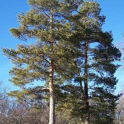 Pinus sylvestris    Germany 851 19 Scotch Pine, Scots Pine seed for sale