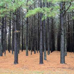 Pinus taeda    Coastal Loblolly Pine seed for sale