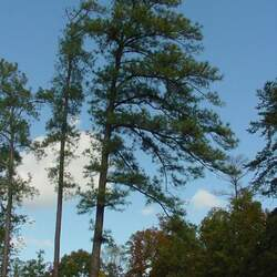 Pinus taeda    Piedmont Loblolly Pine seed for sale