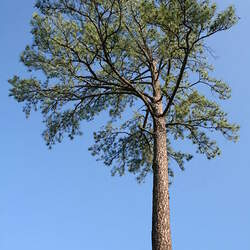 Pinus taeda Loblolly Pine seed for sale