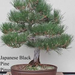 Pinus thunbergii    China Japanese Black Pine seed for sale