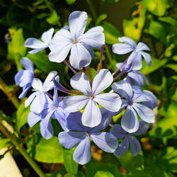 Plumbago zeylanica Wild Leadwort seed for sale