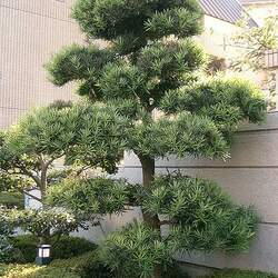 Podocarpus macrophyllus Yew Plum Pine, Southern Yew seed for sale