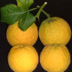 Poncirus trifoliata Hardy Orange, Trifoliate Orange seed for sale