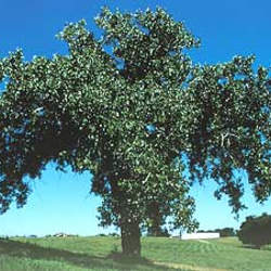 Populus deltoides Cottonwood, Eastern Cottonwood seed for sale