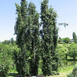 Populus tremula European Aspen seed for sale