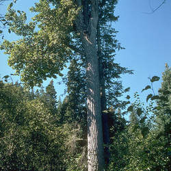 Populus trichocarpa Black Cottonwood , Western Balsam Poplar, California Poplar seed for sale