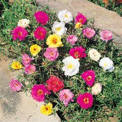 Portulaca grandiflora Rose Moss seed for sale