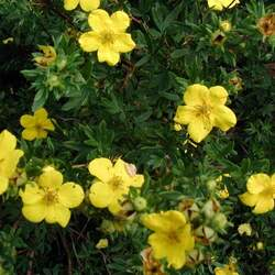 Potentilla fruticosa Shrubby Cinquefoil seed for sale