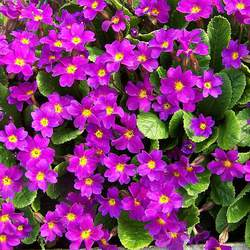 Primula vulgaris English Primrose seed for sale