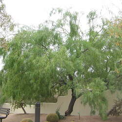 Prosopis glandulosa Mesquite, Honey Mesquite seed for sale