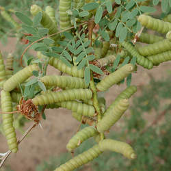 Prosopis pubescens Screwbean Mesquite seed for sale