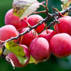 Prunus americana Wild Plum, American Plum, Common Wild Plum seed for sale