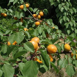 Prunus armeniaca  mandshurica Apricot, Mandshurian Apricot seed for sale