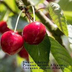 Prunus avium   Alkavo Alkavo CVI Mazzard Cherry, Certified Virus Indexed Mazzard Cherry seed for sale