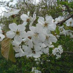 Prunus avium     'CVI' Sweet Cherry, Wild Cherry, Gean, Certified Virus Indexed Mazzard Cherry seed for sale