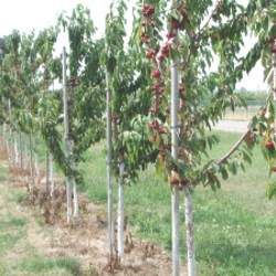 Prunus cerasus Sour Cherry seed for sale