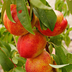Prunus persica  Lovell Peach, Lovell Peach seed for sale