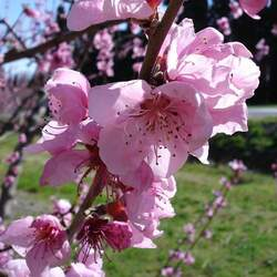 Prunus persica  Nemaguard Peach, Nemaguard Peach seed for sale