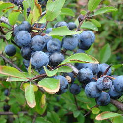 Prunus spinosa Sloe, Blackthorn seed for sale