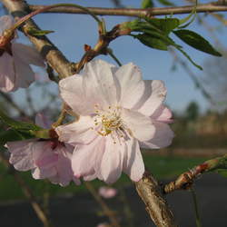 Prunus subhirtella Winter Flowering Cherry, Higan Cherry, Spring Cherry, Rosebud Cherry seed for sale