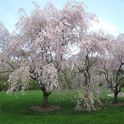 Prunus subhirtella  Pendula Weeping Higan Cherry seed for sale