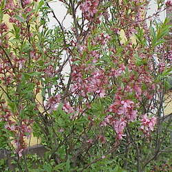 Prunus tenella Dwarf Russian Almond, Russian Almond seed for sale