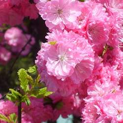 Prunus triloba Flowering Almond, Flowering Plum seed for sale