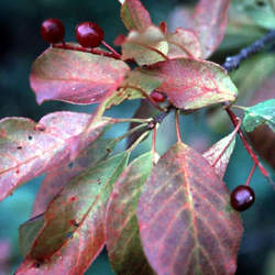 Prunus virginiana demissa Western Chokecherry seed for sale