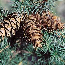 Pseudotsuga menziesii  glauca  BC Turtle Valley Douglas Fir seed for sale