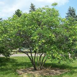 Ptelea trifoliata Common Hoptree, Hop Tree, Wafer Ash, Stinking Ash seed for sale