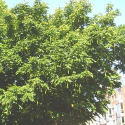 Pterocarya stenoptera Chinese Wingnut seed for sale