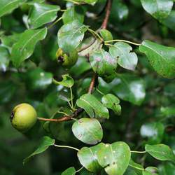 Pyrus caucasica Caucasian Pear seed for sale